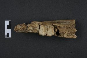 Mandibule 3 Brachyodus onoideus