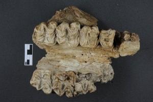 Maxillaire 2 Brachyodus onoideus