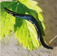Un mangeur de vers : le plathelminthe